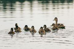 Duck swims on the lake with ducklings in a row. A family of ducks, mother duck and ducklings swim in the water, symbolizing family values Royalty Free Stock Images