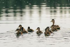 Duck swims on the lake with ducklings in a row. A family of ducks, mother duck and ducklings swim in the water, symbolizing family values Stock Photography