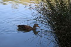 The duck is swims on the lake stock photography
