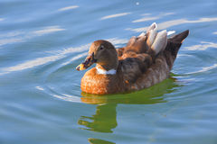 Duck swims on the lake. In the morning Royalty Free Stock Photo