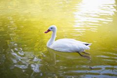 Duck swims in the lake royalty free stock image