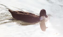 Duck swims in the lake. In the park in nature Stock Images