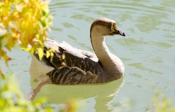 Duck swims in the lake Stock Photo
