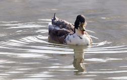 Duck swims in the lake Stock Images
