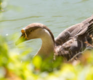 Duck swims in the lake. A photo Royalty Free Stock Photography