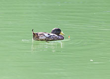 Duck swims in the lake. A photo Stock Photos