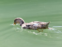 Duck swims in the lake Royalty Free Stock Images