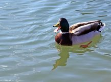 Duck that swims in the lake water with open beak. Big duck that swims in the lake water with open beak Royalty Free Stock Photography
