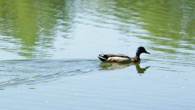 Duck swims. A male duck swims along the lake, a summer day