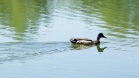 Duck swims stock video