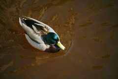 Duck swims in murky brown water Stock Image