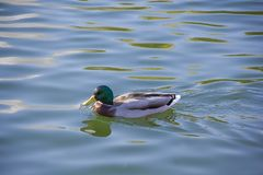 Duck swims in a pond green nature lake. Duck swims in a pond green, nature lake stock photos