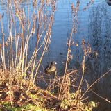 Duck swims in the pond, sunlit. In the winter forest Royalty Free Stock Images