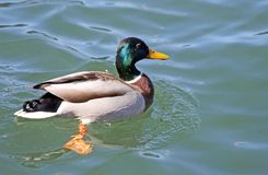 Duck that swims in the pond water Stock Photo