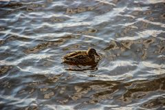 Lonely duck swims on the river stock photos