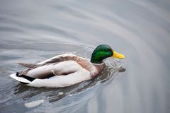 Duck swims in search of food to the shore royalty free stock photo