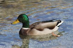 DUCK SWIMS SLOVENIAN LAKE stock images