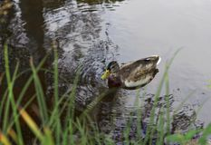 The duck swims on the water. In the lake background with blurred grass on front ground Royalty Free Stock Photo