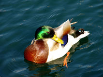 A duck swims on the water. Duck suns herself on the water Stock Image