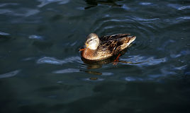 The duck swims on the waves Stock Photography