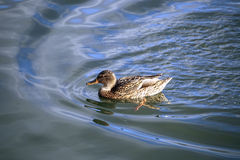 The duck swims on the waves Royalty Free Stock Images