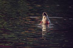 Duck tail above water royalty free stock photography