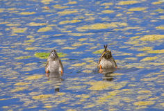 Duck Tails. Here are 2 ducks that are displaying their tails. They of course are dining on the tasty slime in this pond Stock Photo