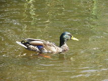 Duck03 Royalty Free Stock Image