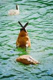 The duck takes food from under the water. stock image