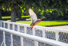 Duck takes off from the railing. On the bridge Stock Images