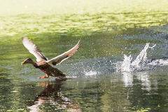 Duck takes off. Wild duck flies up from lake water Royalty Free Stock Photography