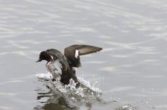 Duck taking flight Stock Image