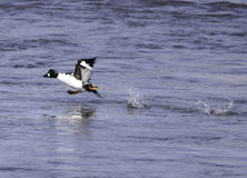 Duck Taking Off Royalty Free Stock Images