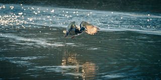 Duck Taking Off From Glinting-Wasser stockfotos