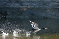 Duck taking off in pond Stock Photos