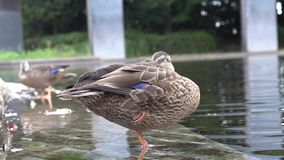 A duck taking a rest standing on one leg stock video footage