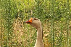 goose adult Royalty Free Stock Image