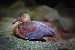 Duck Teal Stock Afbeelding