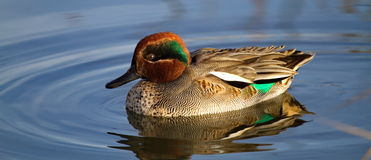 Duck Teal On The Water Stock Images