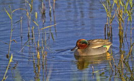 Duck teal on the water Stock Photos