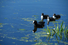 Duck and ten ducklings. The Eurasian Coot and ten ducklings Royalty Free Stock Photo