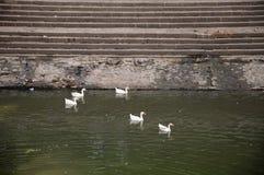 Duck Thirteen imagens de stock royalty free