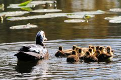 Duck with thirteen ducklings Royalty Free Stock Photo