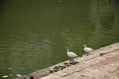 Duck Thirty Nine Stock Photography