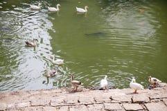 Duck Thirty Seven imagens de stock