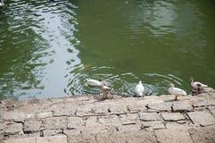 Duck Thirty Six Imagem de Stock Royalty Free