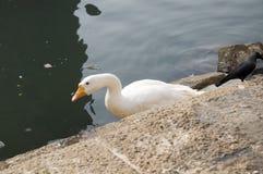 Duck Thirty Three Stock Photo