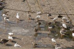 Duck Thirty Two Imagens de Stock