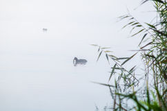 Duck though the morning mist. Pair of ducks coots in the morning mist on the river in the fall Royalty Free Stock Images