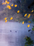 Duck though the morning mist. Pair of ducks coots in the morning mist on the river in the fall Stock Image